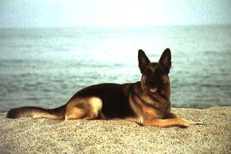 Cani razze gruppo 1 for Cane da pastore della russia meridionale