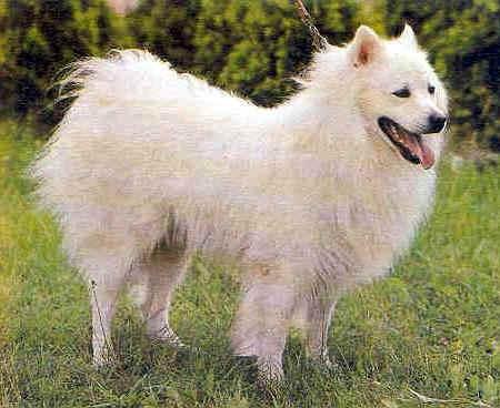 Razze cani taglia grande pelo lungo bianco