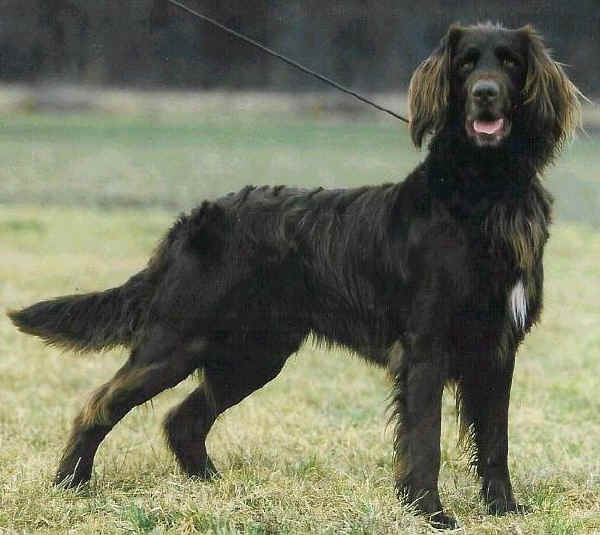 Razze cani GR 7 Cane da ferma tedesco a pelo lungo