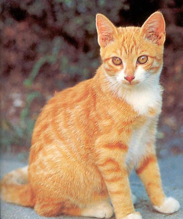 Gatti europeo for Gatti con occhi diversi